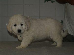 donker goldenretriever pups